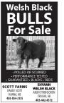 Welsh Black BULLS For Sale
