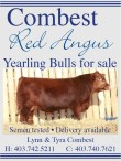 Combest Red Angus Yearling Bulls for sale